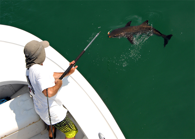 Outer Banks Fishing Charter for Cobia